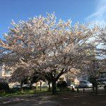 三島市で桜が綺麗な場所 2017年4/15(土)桜が満開だった三嶋大社、上岩崎公園