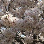 三島市の桜の名所、三嶋大社と上岩崎公園の桜がきれいだった!